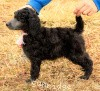 A picture of Sunridge Crystal Masterpiece, a silver standard poodle