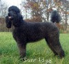A picture of Pagentry Aurora Greenway, a black standard poodle