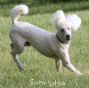 A picture of Sunridge Moonlight Dream Maker, a white standard poodle