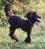 A picture of Sunridge Midnight Blue, a blue standard poodle