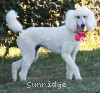 A picture of Sunridge Princess in the Moonlight, a white standard poodle
