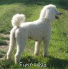 A picture of Amandi's Moonbeam, a white standard poodle