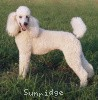 A picture of Sunridge Exquisite Lilly of the Stars, a white standard poodle