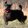 A picture of Sunridge Believe It Or Not, a blue standard poodle