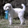 A picture of Sunridge Kiss of My Dreamz, a white standard poodle