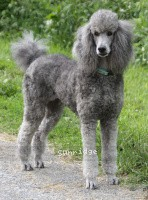 X. Twilight Princess, a silver female Standard Poodle