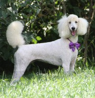 Sunridge Kiss of My Dreamz, a white standard poodle