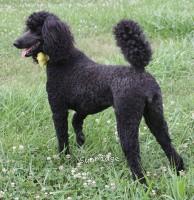 Sunridge Unforgettably Elegant Princess, a blue female Standard Poodle
