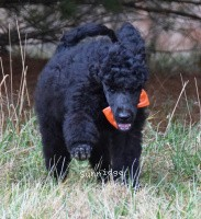 Obrian, a black male Standard Poodle puppy for sale