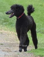 Sunridge Believe It Or Not, a blue male Standard Poodle