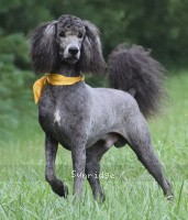 Yuma, a abstract silver male Standard Poodle for sale