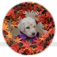 Paden, a white male Standard Poodle puppy for sale