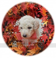Peace, a white female Standard Poodle puppy