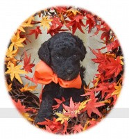 Octavia, a abstract silver female Standard Poodle puppy