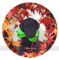 Gigi, a black female Standard Poodle puppy