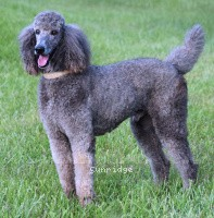 Sunridge Gallant Midnight Warrior, a silver male Standard Poodle
