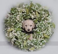 Dymond, a white female Standard Poodle puppy