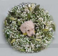 Yancy, a white male Standard Poodle puppy for sale