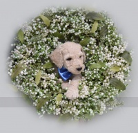 Buford, a white male Standard Poodle puppy for sale
