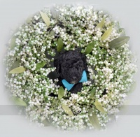 Zsa Zsa, a abstract blue female Standard Poodle puppy
