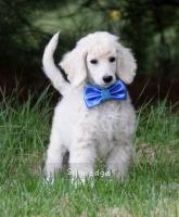 Gabriel, a white male Standard Poodle puppy