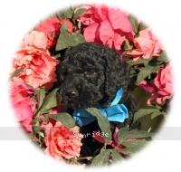 Eros, a blue male Standard Poodle puppy