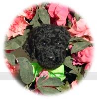 Sprinkles, a black female Standard Poodle puppy