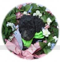 Georgina, a silver female Standard Poodle puppy