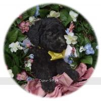 Dasha, a silver female Standard Poodle puppy
