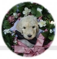 Brenton, a white male Standard Poodle puppy