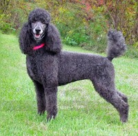 Sunridge Blue Lace Masterpiece, a blue standard poodle