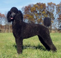 X. Skye of Sunridge, a blue standard poodle