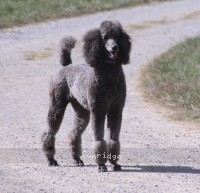 Sunridge Twilight Over Mount Bethel, a blue standard poodle