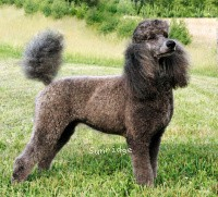 Timber Ridges Always N Forever, a blue standard poodle
