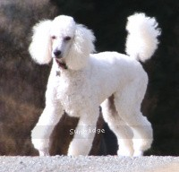 Sunridge Fire In The Moonlight, a white standard poodle