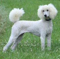 Sunridge Untouchable Twilight Rapture, a white standard poodle