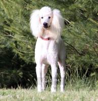Sunridge Unforgettable Dreamz, a white male Standard Poodle