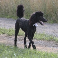 Sunridge Untouchable Twilight Reverie, a black standard poodle