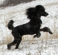 X. Firefly Of Sunridge, a blue standard poodle