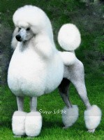 Mill Rose Masterpiece, a white standard poodle