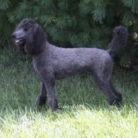 Sunridge Midnight Princess, a blue female Standard Poodle