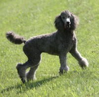 Sunridge Crystal Princess, a silver standard poodle