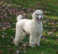Sunridge Shimmering Dreamz, a white female Standard Poodle