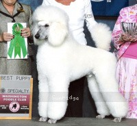 Timber Ridges Untouchable, CH, a white standard poodle