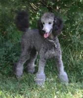 Sunridge Untouchable Twilight Princess Leaha, a silver standard poodle