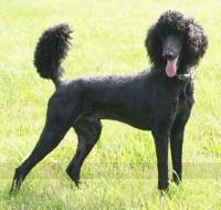 Brienwoods Impressive Leap, a black standard poodle