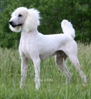 Sunridge Moonlight Dream Maker, a white standard poodle