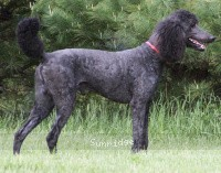 Sunridge Midnight Blue, a blue male Standard Poodle