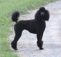 Sunridge Untouchable Dark Skye, a blue standard poodle