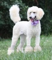 Sunridge Unforgettable Crystal Dreamz, a cream female Standard Poodle